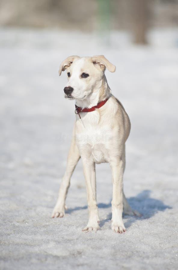 查找雪的仔细狗 库存照片