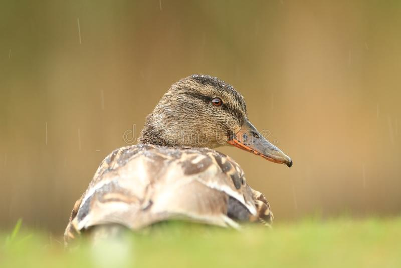 查找platyrhynchos死水的语录鸭子您 捷克的狂放的本质 图库摄影