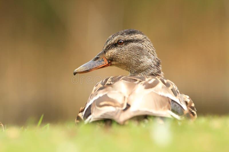 查找platyrhynchos死水的语录鸭子您 捷克的狂放的本质 库存图片