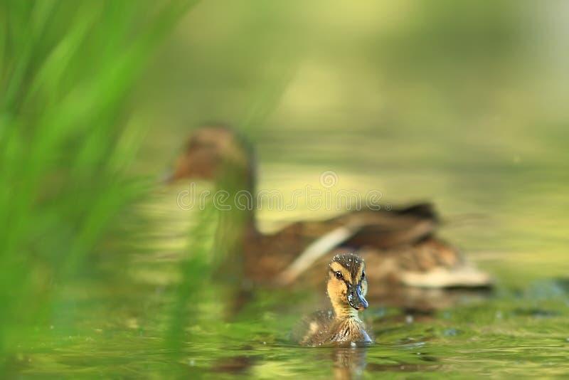 查找platyrhynchos死水的语录鸭子您 E 在水的鸟 r 库存图片