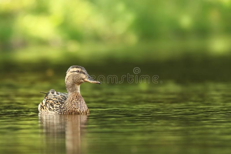 查找platyrhynchos死水的语录鸭子您 E 在水的鸟 r 库存照片