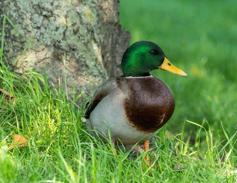 查找platyrhynchos死水的语录鸭子您 免版税库存照片