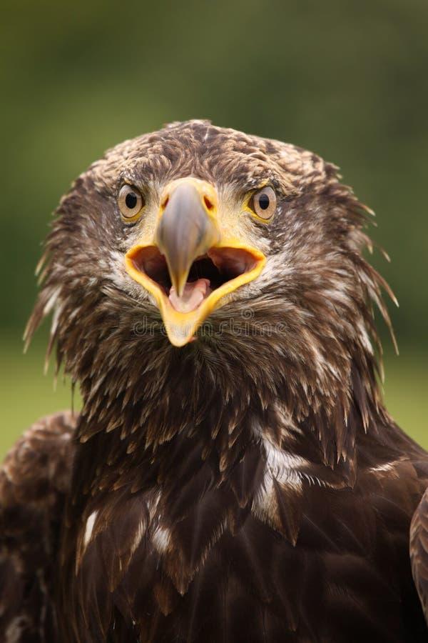 查看您的幼小白头鹰 库存图片