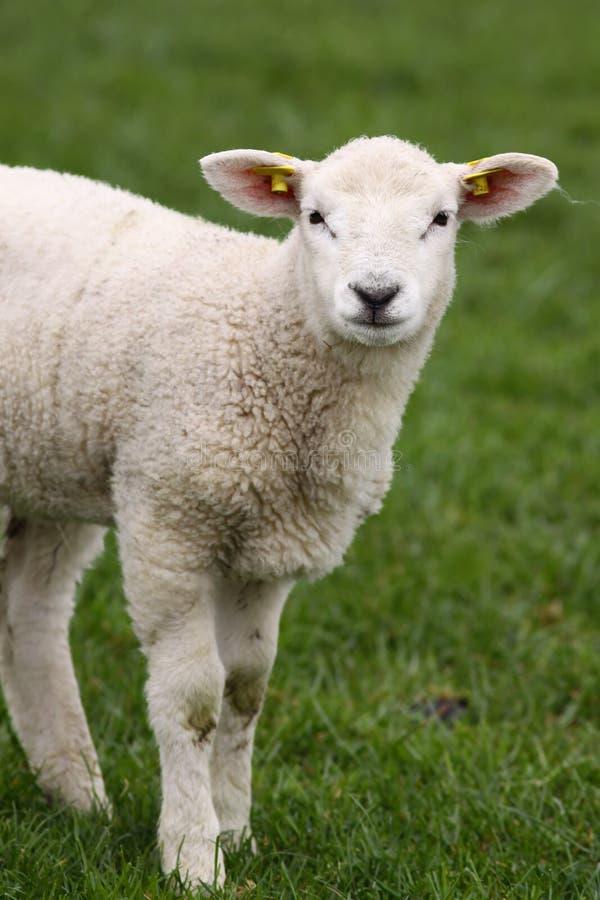 查看您的逗人喜爱的小的羊羔 免版税库存图片