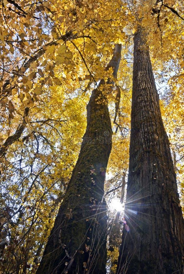 查寻在与明亮的黄色叶子的两棵高庄严树之间 免版税库存图片