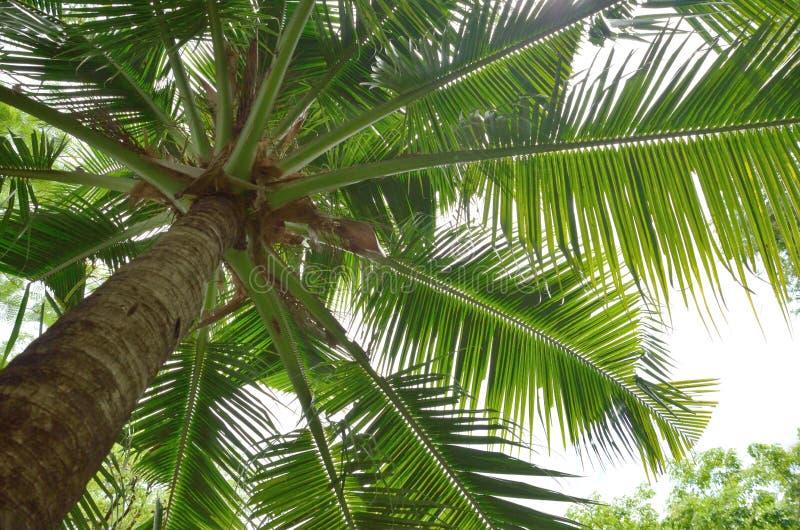 Download 查寻对椰子树 库存照片. 图片 包括有 果子, 叶子, 椰子, 本质, 纹理, 绿色, 照亮, 种子, 结构树 - 59112252
