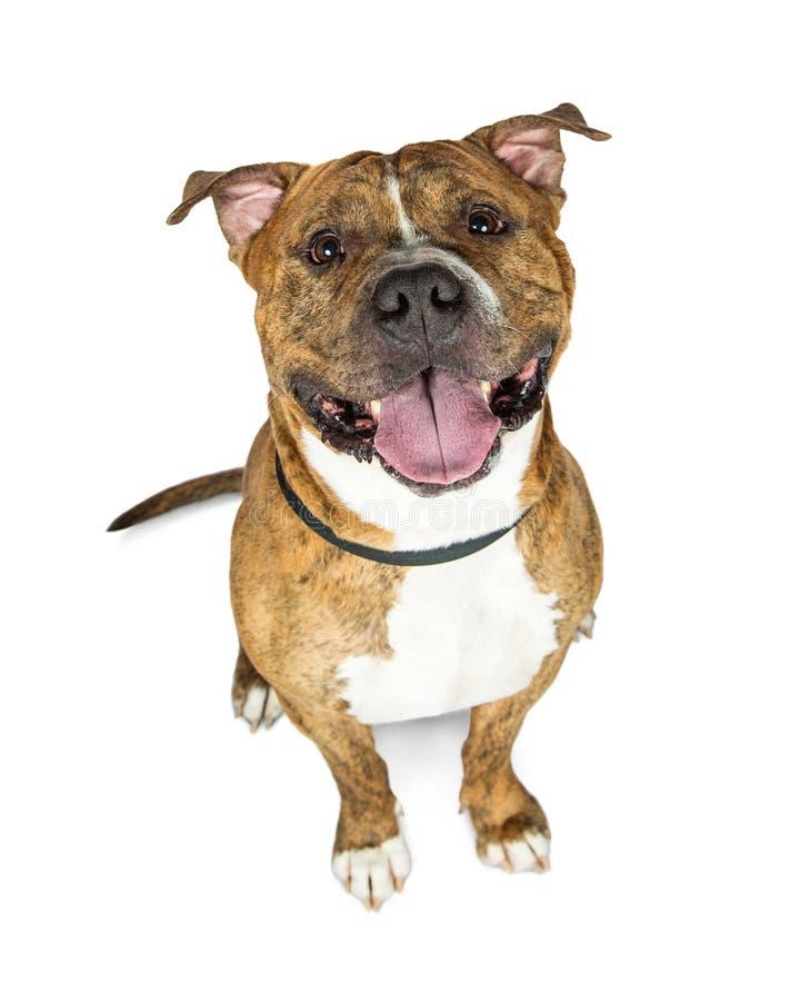 查寻愉快的布朗烟草花叶病的美洲叭喇的狗 免版税库存照片