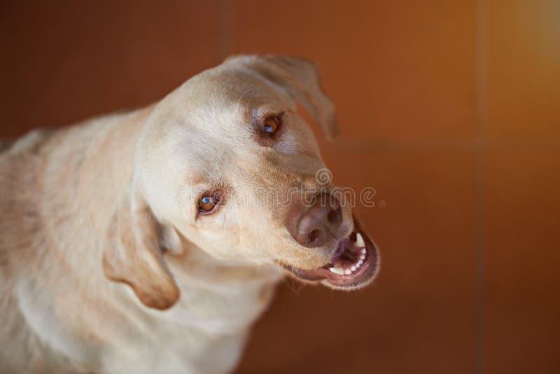 查寻拉布拉多的狗 图库摄影