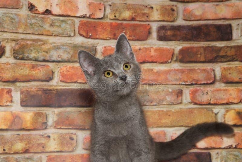 查寻灰色和白色平纹的小猫画象  库存照片