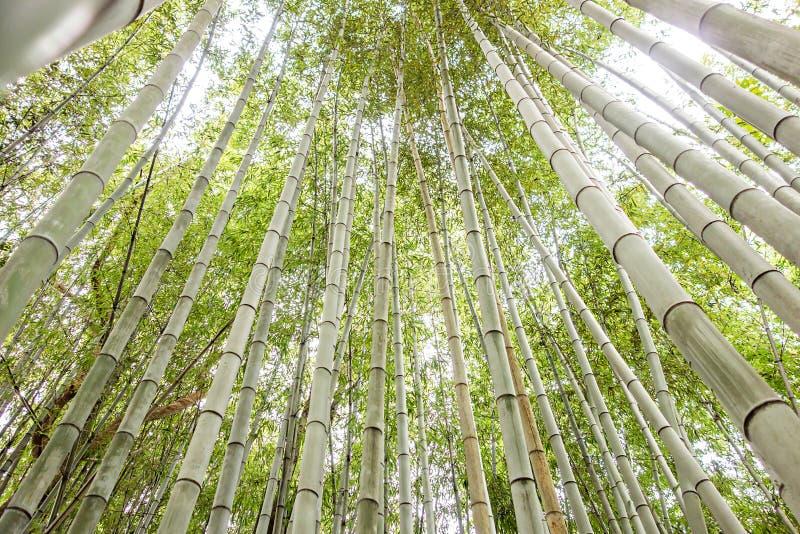 查寻狂放的绿色竹的森林 图库摄影