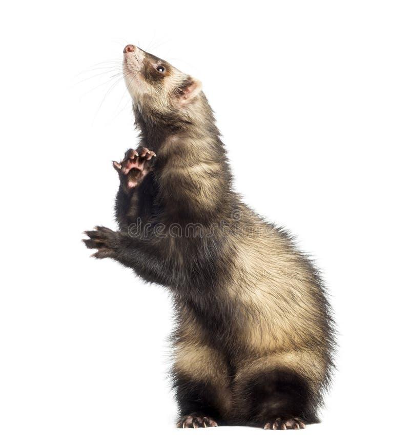 Download 查寻的白鼬站立在后腿和 库存图片. 图片 包括有 查出, 宠物, 国内, 有效地, 空白, 敌意, 突出 - 30337819