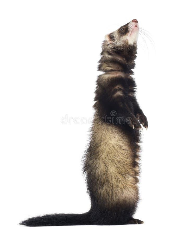 Download 查寻的白鼬站立在后腿和 库存图片. 图片 包括有 browne, 食肉动物, 射击, 剪切, 敌意, 到达 - 30338693