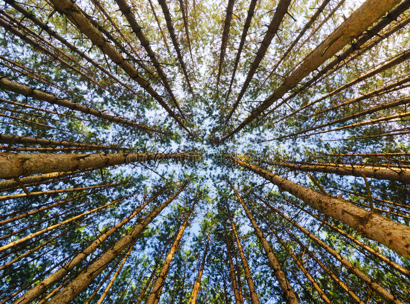 查寻赤松的森林 库存照片