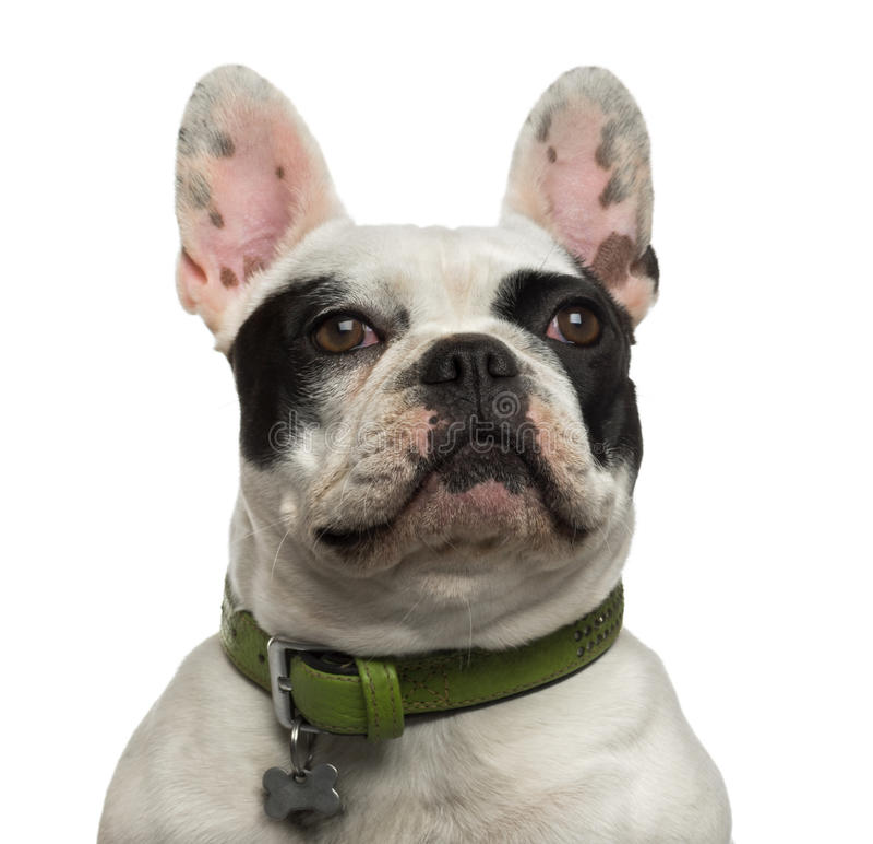 查寻骄傲的法国牛头犬的特写镜头 库存照片
