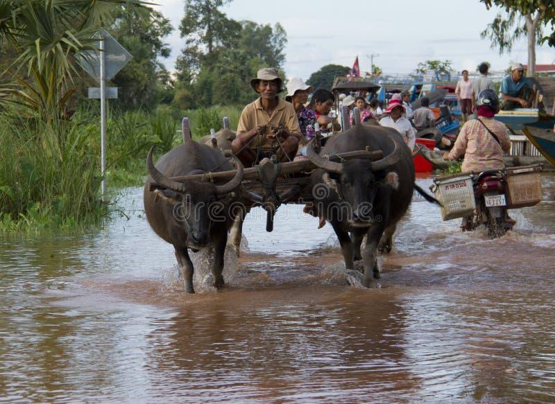 柬埔寨吴哥— 2011年10月11日:水牛把滞留的游客送到船上 免版税库存图片