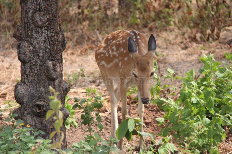 柬埔寨 Eld' s鹿 Panolia Eldi Siamens 印度支那 库存照片