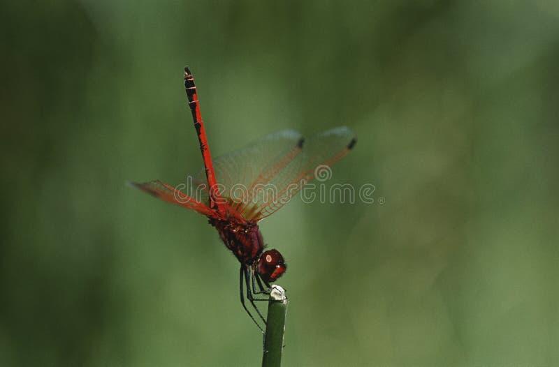 柯尔比的在词根关闭的Dropwing蜻蜓 库存图片