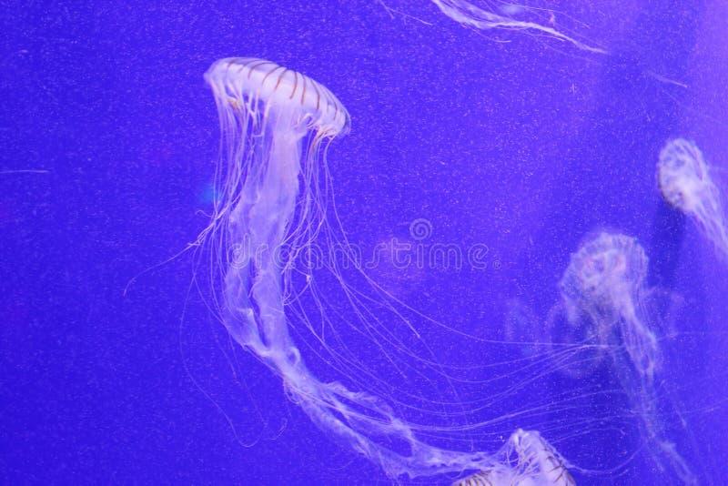 柯桠素melanaster水母 库存图片