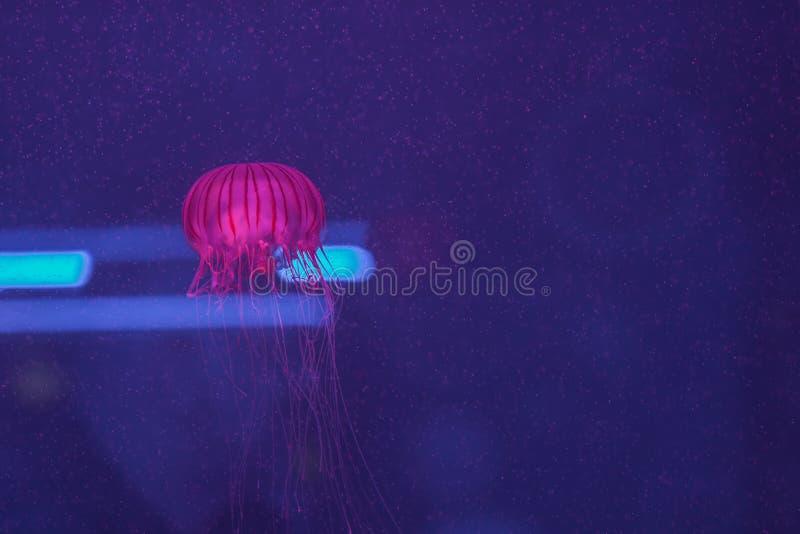柯桠素melanaster,在aquar里面的日本海荨麻游泳 图库摄影