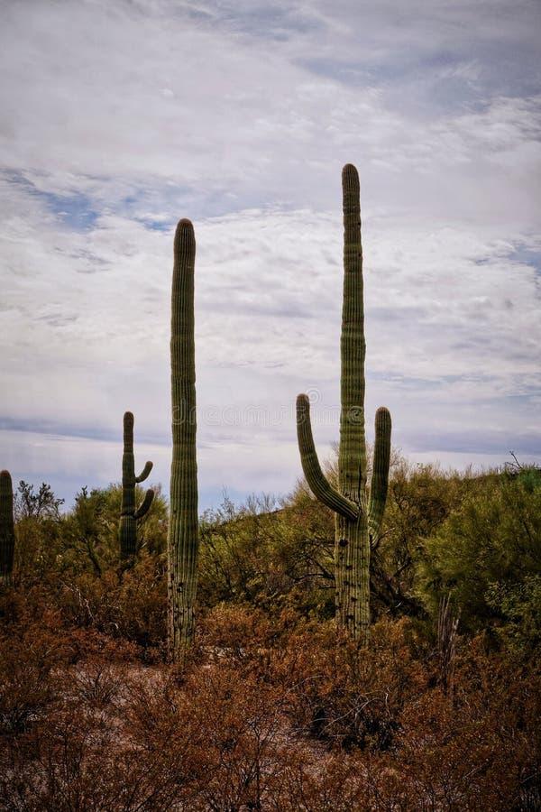 柱仙人掌仙人掌反对多云天空的卡内基gigantea在亚利桑那沙漠 库存图片