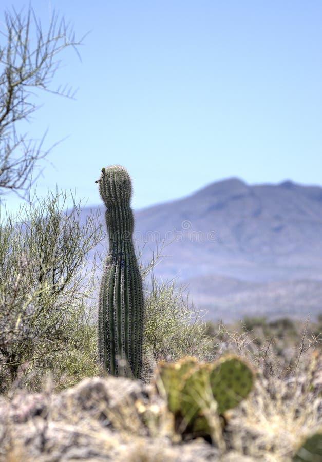 柱仙人掌仙人掌沙漠风景,亚利桑那美国 库存照片