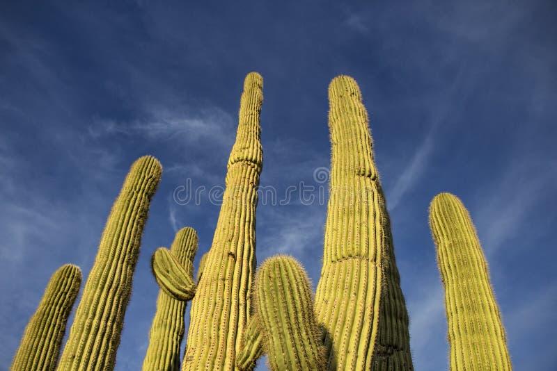 柱仙人掌仙人掌胳膊高昂对亚利桑那天空蔚蓝 库存图片