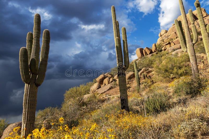 柱仙人掌仙人掌&野花在石峰高峰足迹在斯科茨代尔,亚利桑那 免版税库存照片