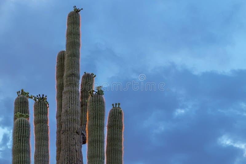 柱仙人掌腾飞的仙人掌关闭入天空 库存图片