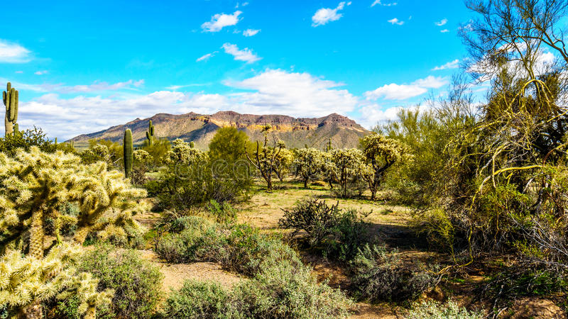 柱仙人掌、Cholla、蜡烛木和桶式仙人掌在Usery山地方公园半沙漠的风景  免版税图库摄影