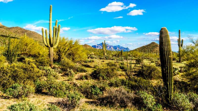 柱仙人掌、Cholla和其他仙人掌在半沙漠的风景在Usery山和迷信山附近在背景中 免版税库存图片