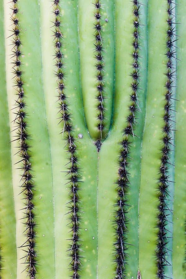 柱仙人掌仙人掌卡内基gigantea脊椎摘要 库存图片