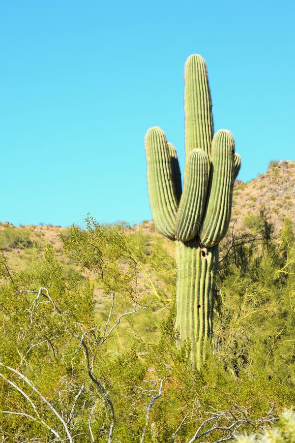 柱仙人掌仙人掌(亚利桑那沙漠) 免版税库存照片