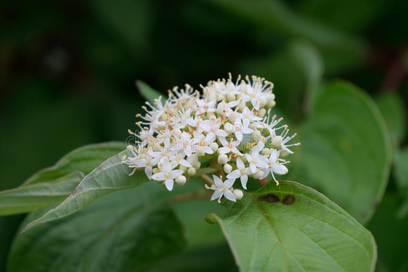 紫柳山茱萸(萸肉sericea)花细节 库存图片