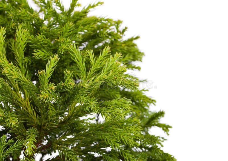 柳杉japonica Globosa纳纳 免版税图库摄影