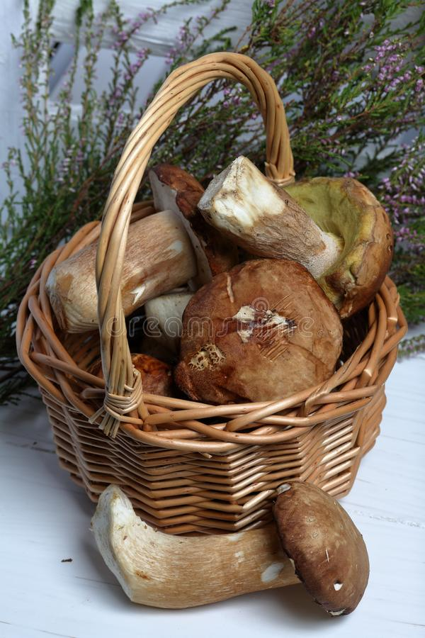 羊菇柳条山羊 一只蘑菇就在附近 在背景中,一堆盛开的海瑟和一盒白色 免版税库存照片