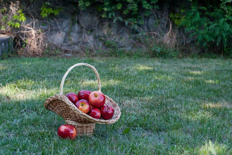 柳条筐被编织藤用在绿草背景的红色苹果,红色成熟果子,柳条秸杆 免版税库存图片