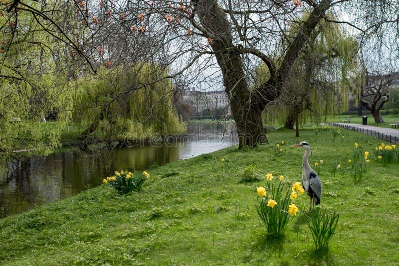 柳树、划船湖和黄水仙在春天 库存照片