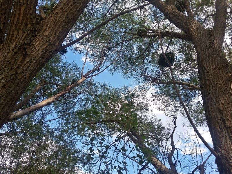 柳树和叶子 免版税库存照片