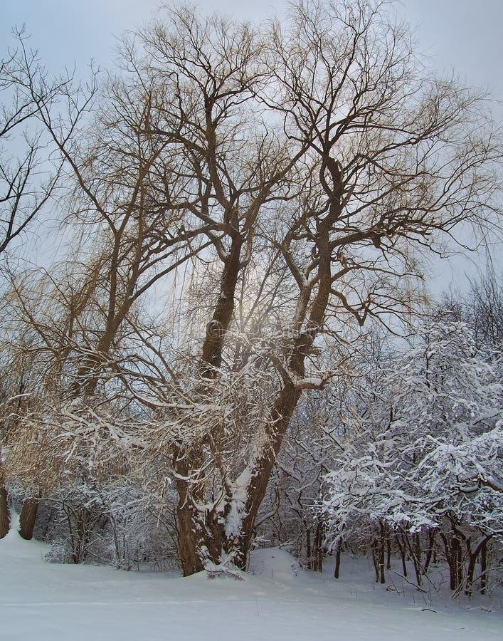 柳树在冬天 免版税库存图片