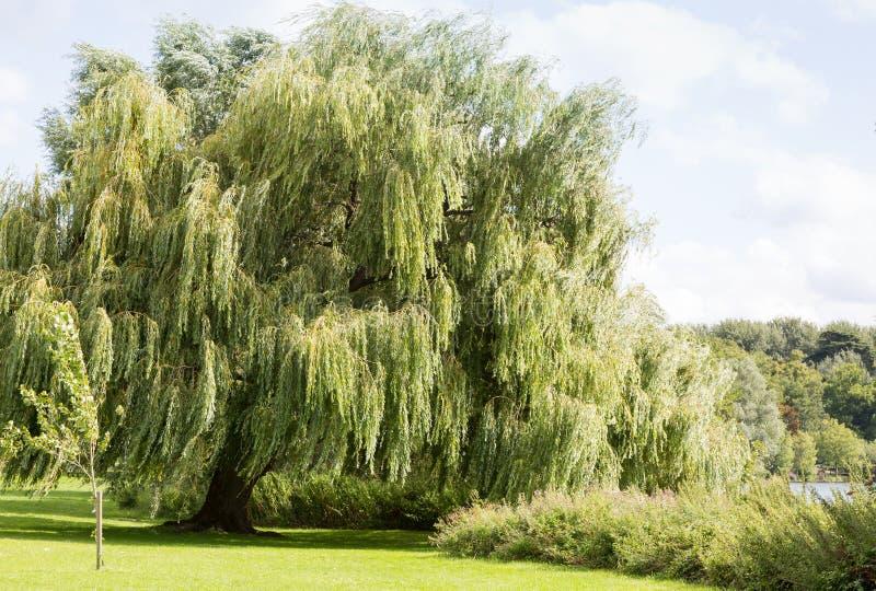 柳树在河的边 免版税库存图片