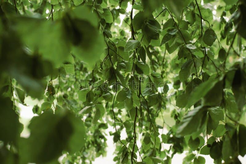 柳树离开背景 环境,从事园艺和野生生物概念 免版税库存图片