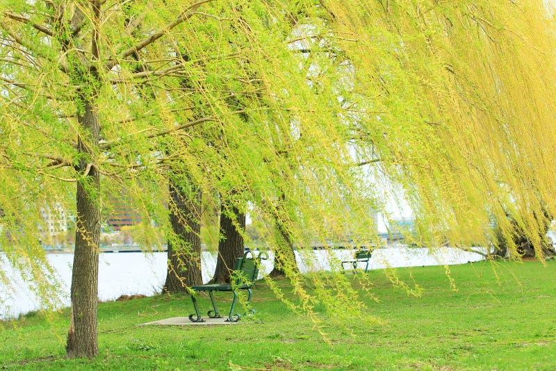 柳树在春天在公园.