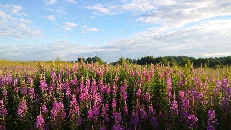 柳草丛林在一个大领域的 在花伊冯茶森林视图后的背景中 免版税库存照片
