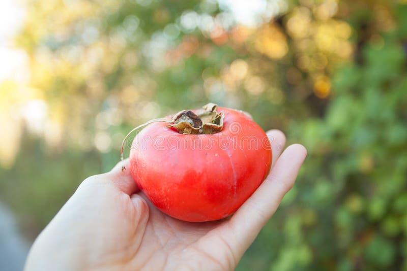 柿子在手中在绿色背景 库存图片