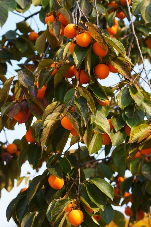 柿树用成熟果子 免版税库存照片