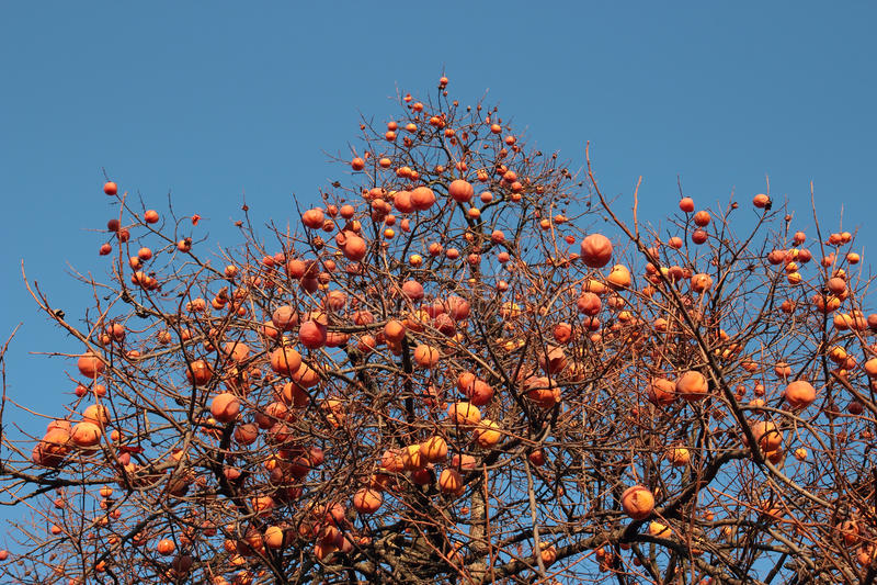 柿树 免版税图库摄影