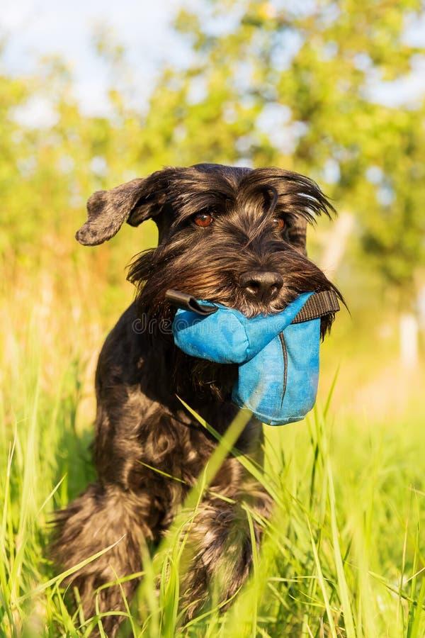 标准髯狗狗在草甸走 免版税库存照片