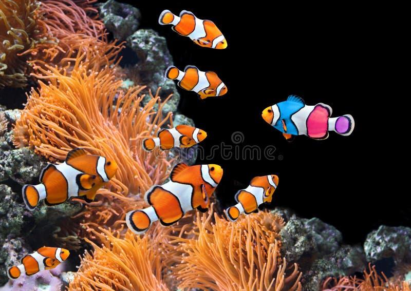 标准clownfish群和一条五颜六色的鱼 库存照片