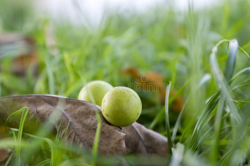 栎五倍子,在橡木的寄生生物球离开 免版税库存图片