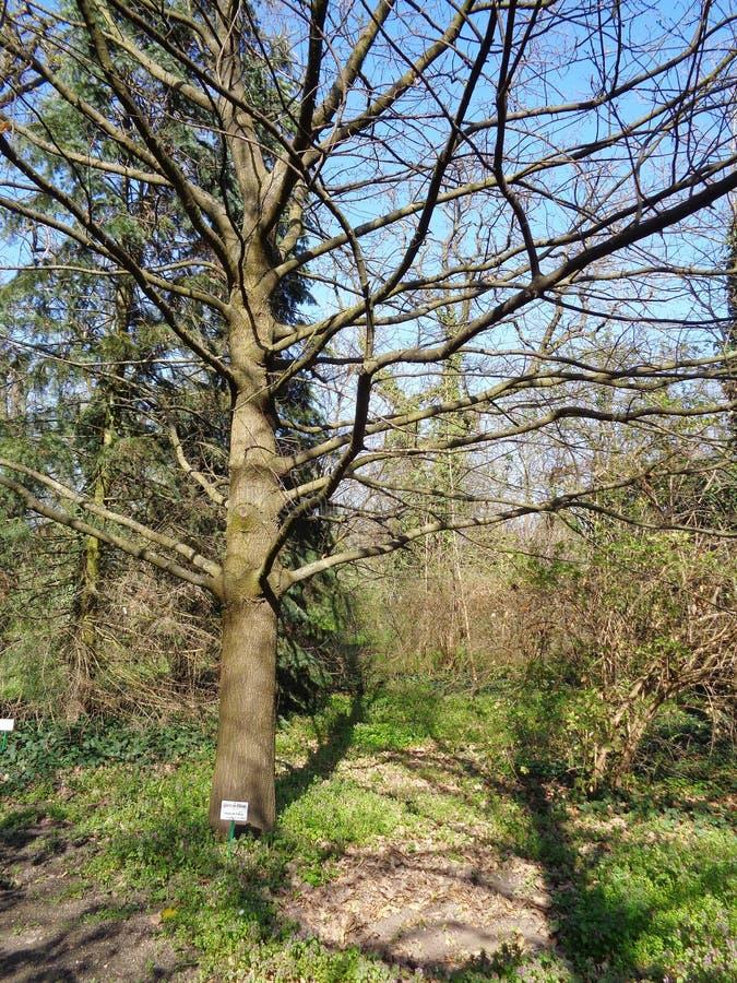 栎属libani,黎巴嫩橡木在Macea dendrological公园的春天 免版税库存照片